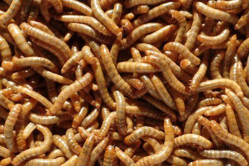 meelwormen-levende1